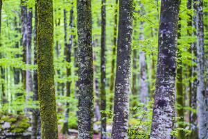 Pine Forest at Lake Bohinj, Triglav National Park, Julian Alps, Slovenia, Europe by Matthew Williams-Ellis