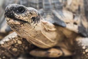 Radiated Tortoise (Astrochelys Radiata), Madagascar Central Highlands, Madagascar, Africa by Matthew Williams-Ellis