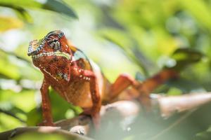 Red Panther Chameleon (Furcifer Pardalis), Endemic to Madagascar, Africa by Matthew Williams-Ellis