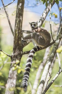 Ring-Tailed Lemur (Lemur Catta), Isalo National Park, Ihorombe Region, Southwest Madagascar, Africa by Matthew Williams-Ellis