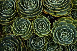 Succulents in the shape of flowers, San Gerardo de Dota, San Jose Province, Costa Rica by Matthew Williams-Ellis
