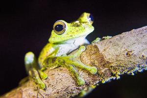 Tree Frog in the Mashpi Cloud Forest Area of the Choco Rainforest, Pichincha Province, Ecuador by Matthew Williams-Ellis