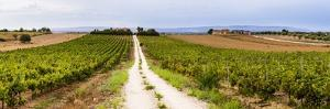 Vineyard at a Winery Near Noto, South East Sicily, Italy, Europe by Matthew Williams-Ellis