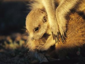 A Baby Meerkat Snuggles up to its Caretaker for Warmth and Safety by Mattias Klum