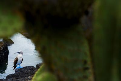 A Blue Footed Booby at the Water's Edge in Galapagos Islands National Park by Mattias Klum
