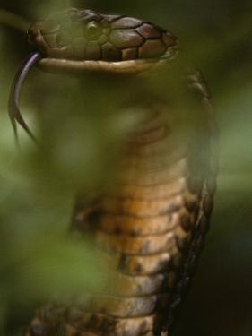 A Close View of a King Cobra Flicking its Tongue Out by Mattias Klum