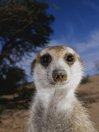 A Close View of an Adult Meerkat (Suricata Suricatta) by Mattias Klum