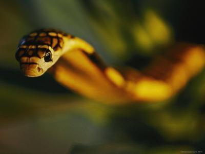 A Close View of the Head of a King Cobra by Mattias Klum