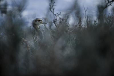 A Darwin's Rhea in Torres Del Paine National Park by Mattias Klum
