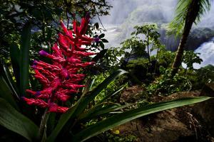 A Flowering Bromeliad and Rainforest Waterfalls in Iguazu National Park by Mattias Klum