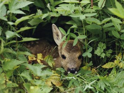 A Juvenile Roe Deer Looks out from a Nest of Green Plants by Mattias Klum