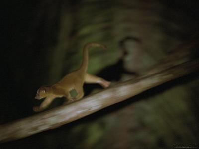 A Kinkajou Runs Across Balsa Limbs During its Nightly Feeding by Mattias Klum