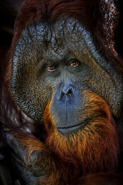 A Male Orangutan at the Borneo Orangutan Survival Center in Nyaru Menteng by Mattias Klum