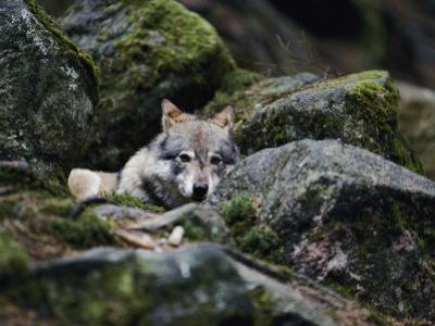 A Young Wolf Lies Partially Hidden Among Lichened Rocks by Mattias Klum