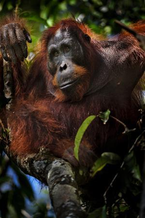 An Orangutan in a Peat Swamp Forest at the Borneo Orangutan Survival Center by Mattias Klum