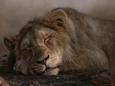 Asian Lion, Sleeping, Gir Forest, Gujarat State, India by Mattias Klum