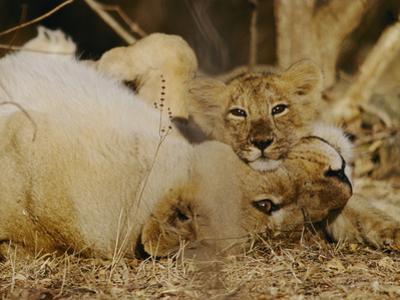 Asian Lions, Panthera Leo Persica, Mother and Cub by Mattias Klum