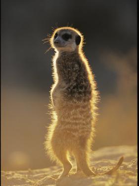 Back-Lit Portrait of a Meerkat in Guarding Posture by Mattias Klum