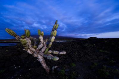 Candelabra Cactus at Sunset by Mattias Klum