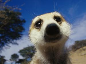 Close View of a Meerkat's Face by Mattias Klum