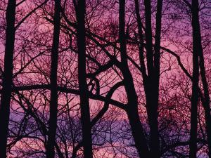 Detail of Bare Trees Silhouetted against a Deep Rose Sky by Mattias Klum