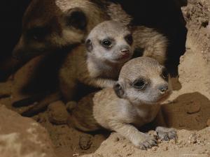 Just Waking Up, Two Meerkat Pups Crawl Away From Their Nest Into the Sunlight by Mattias Klum