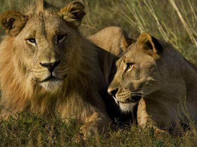 Male and Female African Lions, Panthera Leo, Lying Together by Mattias Klum