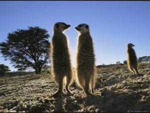 Meerkats Start Each Day with a Sunbath to Lift the Night's Chill by Mattias Klum