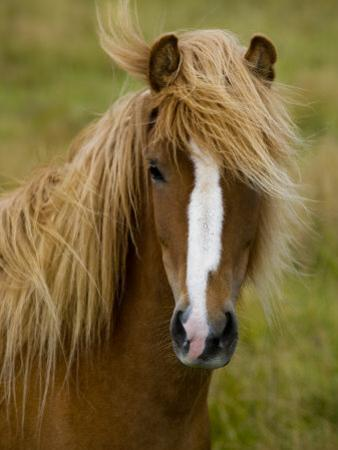 Portrait of an Icelandic Horse with it's Mane Blowing in the Wind by Mattias Klum