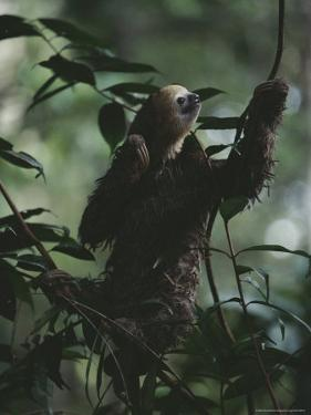 Sloth in Rain Forest Branches by Mattias Klum