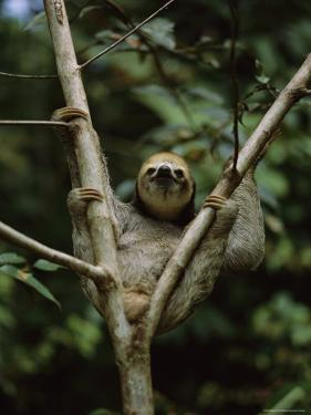 Three-Toed Sloth Nestles in the Crotch of a Young Tree, Costa Rica by Mattias Klum