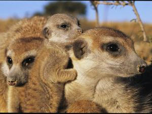 Young Meerkat Nestles with Its Adult Caretakers by Mattias Klum
