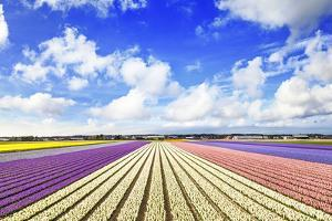 Blooming Fields of Flowers in Holland by Maugli-l