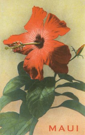 Maui, Hibiscus Blossom