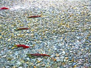 Sockeye Salmon Returning to Spawn in the Chilliwack River, North Cascades National Park, Washington by Maureen Eversgerd