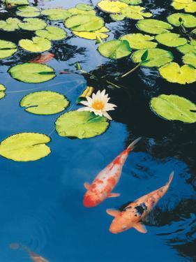 Koi Pond II by Maureen Love