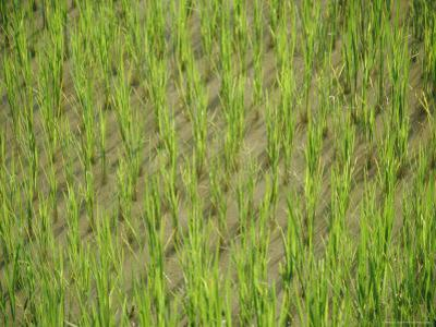 Rice Growing in 2000 Year Old Rice Terraces, Banaue, Luzon, Philippines, Asia