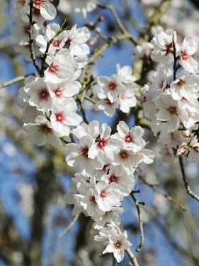 Almond Trees Blooming with Flowers. Loule, Algarve, Portugal by Mauricio Abreu