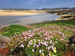 Armeria Pungens Blossom. Costa Vicentina Nature Park, Portugal, Wild Atlantic Coast in Europe by Mauricio Abreu
