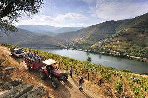 Grapes Harvest Along the Douro River, Near Covelinhas. Alto Douro, Portugal by Mauricio Abreu