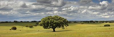 Holm Oaks in the Vast Plains of Alentejo, Portugal