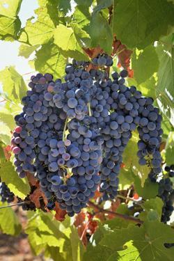 Touriga Nacional grape variety to make red wine. Alentejo, Portugal by Mauricio Abreu