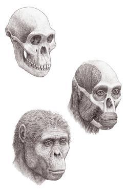 Australopithecus Africanus by Mauricio Anton
