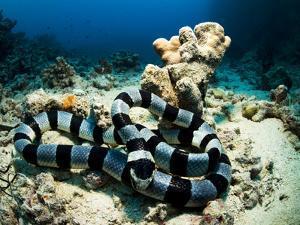 A Banded Sea Snake, Laticauda Colubrina, Sleeps on the Ocean Floor by Mauricio Handler