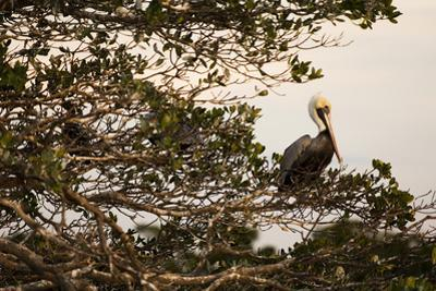 A Brown Pelican Returns to Roost on One of Many Outer Mangrove Islands