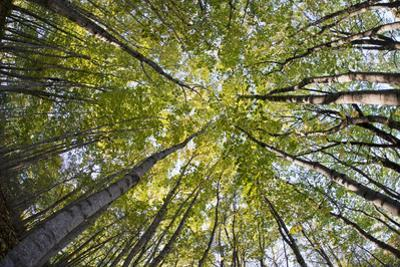 A Forest Tree Canopy in Rockport, Maine