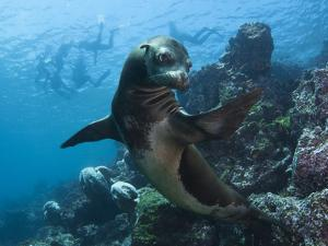 A Galapagos Sea Lion Pauses as Tourists Snorkel on the Surface by Mauricio Handler