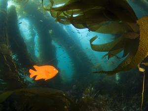 A Garibaldi Fish Swims Within the Kelp Forest Off of Catalina Island by Mauricio Handler