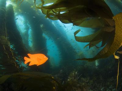 A Garibaldi Fish Swims Within the Kelp Forest Off of Catalina Island