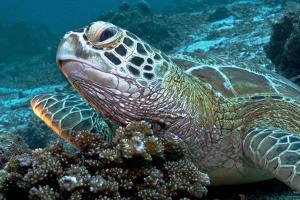 A Green Sea Turtle Lies Atop Hard Coral During Low Tide to Have Fish Clean its Shell from Algae by Mauricio Handler